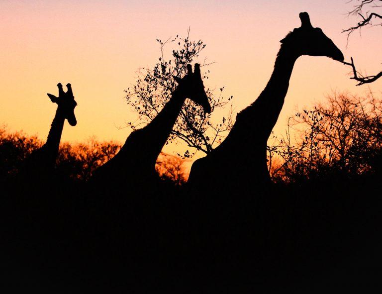 afrika_giraffen_im_sonnenuntergang